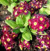 prvosenka Primula x polyantha  'You and Me Maroon Laced'
