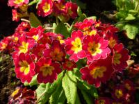 Primula x polyantha   'You and Me Red Laced'  prvosenka rostlina