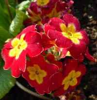 Primula x polyantha     'You and Me Red Laced'  prvosenka květy, květenství