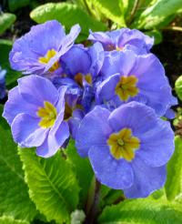 prvosenka Primula x polyantha  'You and Me Denim'
