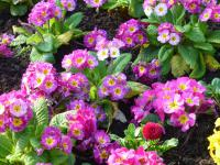 prvosenka Primula x polyantha  'You and Me Rose'