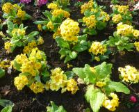 Primula x polyantha 'You and Me Golden'  prvosenka rostlina