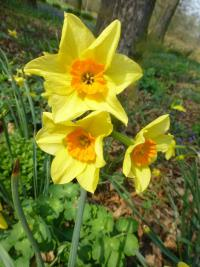 narcis Narcissus  'Suzy'