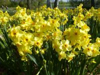 Narcissus  'Golden Dawn' - narcis