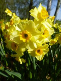 Narcis 'Golden Dawn' (Narcissus x hybridus)