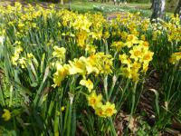 narcis Narcissus  'Falconet'
