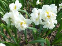 Narcissus  'Bridal Crown'  narcis rostlina