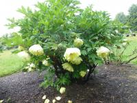 Pivoňka Lemoineova 'Mine d'Or' (Paeonia lemoinei)