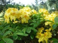 pěnišník Rhododendron  'Golden Sunset'