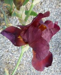 Kosatec bradatý 'Fire Magic' (Iris barbata elatior)