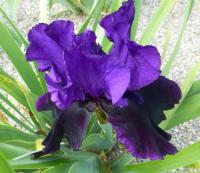 Kosatec bradatý 'Midnight Treat' (Iris barbata elatior)