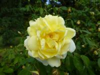 (Rosa) Růže 'Yellow Romantica'
