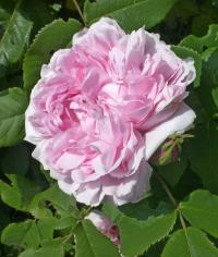 (Rosa x damascena) Růže damascénská 'Jacques Cartier'