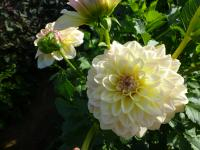 Dahlia  'Alloway Cottage' - jiřina