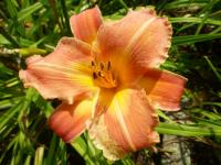 Denivka 'Canyon Beauty' (Hemerocallis hybrida)