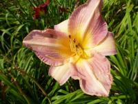 Denivka 'Gentle Hearts' (Hemerocallis hybrida)
