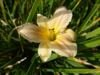 Denivka 'Catch Me' (Hemerocallis hybrida)