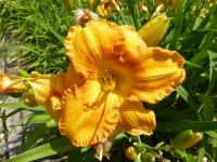 Denivka 'Jerome' (Hemerocallis hybrida)