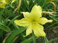 Denivka 'Hudson Valley' (Hemerocallis hybrida)