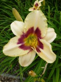 Denivka 'Raspberry Candy' (Hemerocallis hybrida)