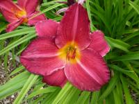 Denivka 'Charles Johnston' (Hemerocallis hybrida)