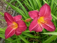 Hemerocallis 'Charles Johnston'  denivka rostlina