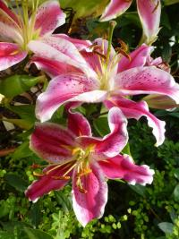 Lilie 'After Eight' (Lilium x hybridum)