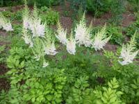 Čechrava čínská 'Milk and Honey' (Astilbe chinensis)