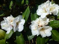 pěnišník Rhododendron  'Mount Everest'