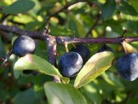 (Prunus spinosa - fruits) Blackthorn