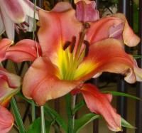 (Lilium) Lilie Satisfaction