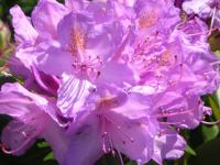 (Rhododendron) Rododendron