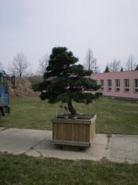Borovice Thunbergova - obří bonsai