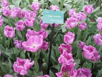 Tulipán Magic Lavender (Tulipa x hybrida)