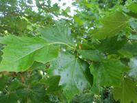Platan západní - listy (Platanus occidentalis)
