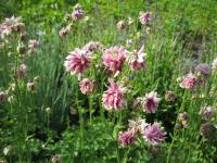 Aquilegia vulgaris  'Tower Light Pink' - orlíček obecný