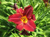 Denivka 'Canadian Mountie' (Hemerocallis hybrida)