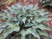 Hosta  'Rhythm and Blues' - bohyška