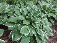 Bohyška Green Gold (Hosta)