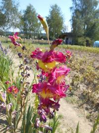 Mečík Far West (Gladiolus)