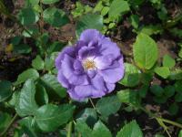 Rosa  'Rhapsody in Blue' - růže