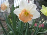 Narcissus  'British Gamble' - narcis