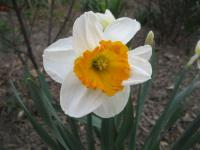 Narcissus  'Sound' - narcis