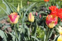 tulipán Tulipa  'Boston'