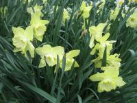Narcissus  'Saint Patricks Day' - narcis