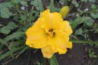 Denivka 'Hidden Riches' (Hemerocallis hybrida)