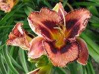 Denivka Awesome Blossom (Hemerocallis hybrida)