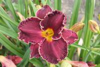 Denivka Buddys Black Lady (Hemerocallis hybrida)