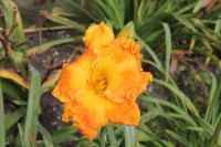 Denivka Over Heated (Hemerocallis hybrida)