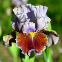 Iris  'Man's Best Friend' - kosatec